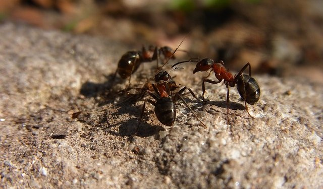 Ants Insects - Image: Public Domain, Pixabay