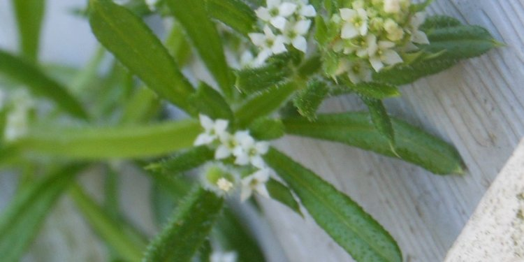 chickweed plant flower - Image: © Briana Blair