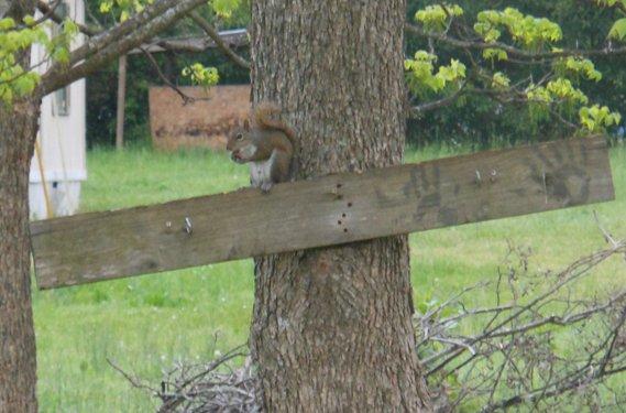chillboy squirrell