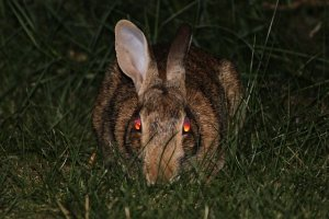 Evil Bunny Rabbit Animal - Image: Public Domain, Pixabay