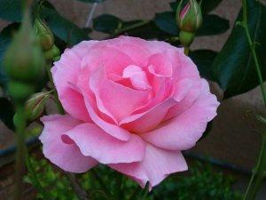 flower rose-pink morg