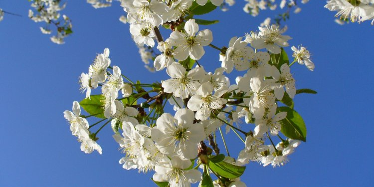 flowers White Sky Nature - Image: Public Domain, Pixabay