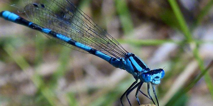 blue dragonfly insect animal Image: Public Domain, Pixabay