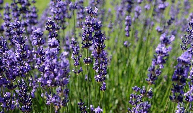 Lavender Herb Flower - Image: Public Domain, Pixabay