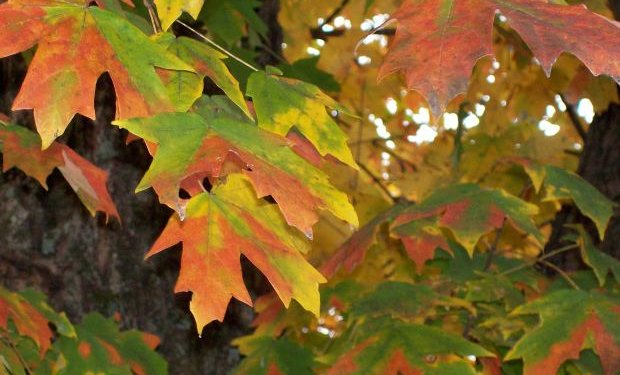 Leaf leaves Autumn Nature - Image: Public Domain, Morguefile