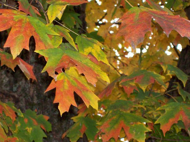 Leaf leaves Autumn Nature - Image: Public Domain, Morguefile