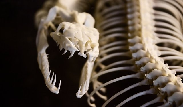 Snake Skull Skeleton Animal - Image: Public Domain, Pixabay