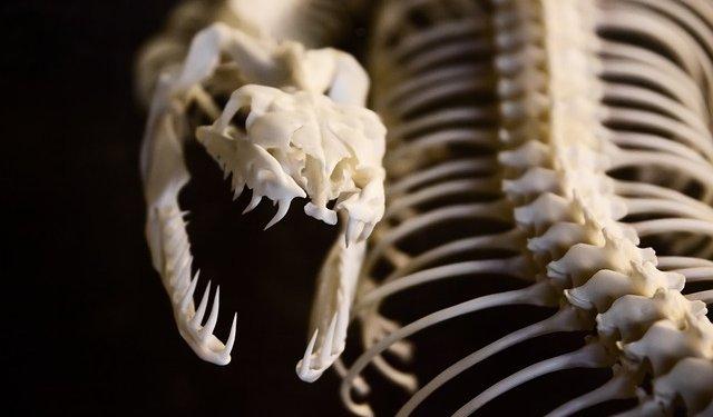 Snake Skull Skeleton Animal - Image: Public Domain, Pixabay