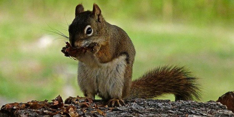 Squirrel Animal Cute - Image; Public Domain, Pixabay