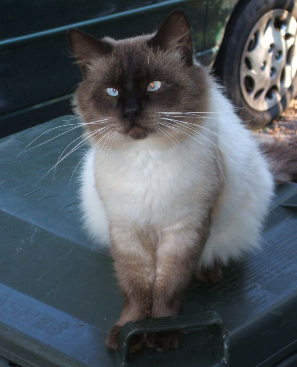 Creep Ragdoll Cat Animal - Image: © Briana Blair