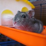 Cute Hamster Rodent Animal - Image: Public Domain, Pixabay