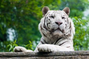 White Tiger Cat Animal