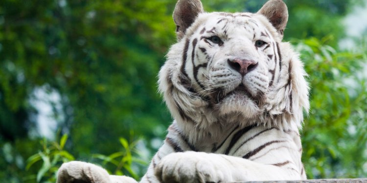 White Tiger Cat Animal Image: Public Domain, Pixabay