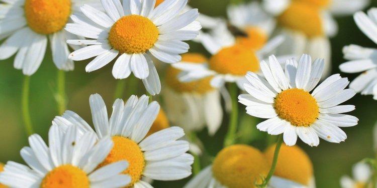 Chamomile Flower Herb - Image: Public Domain, Pixabay