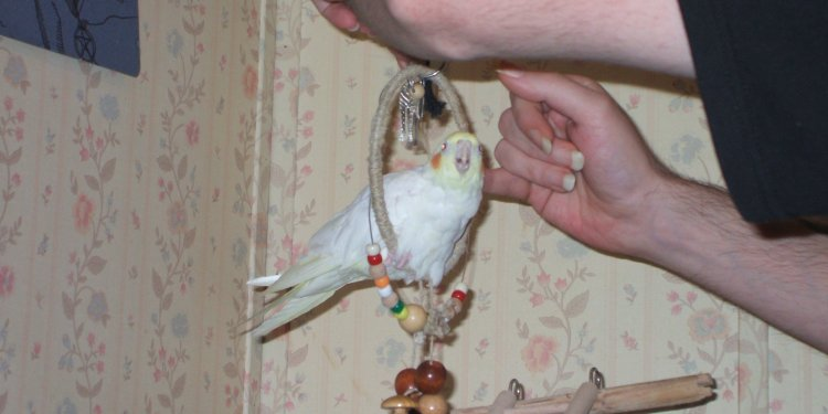 Stoli Cute Cockatiel Bird - Image: © Briana Blair