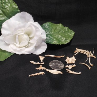 Rat Snake Head and Rib Bones Skeleton Spine Crafting Spirituality Spells