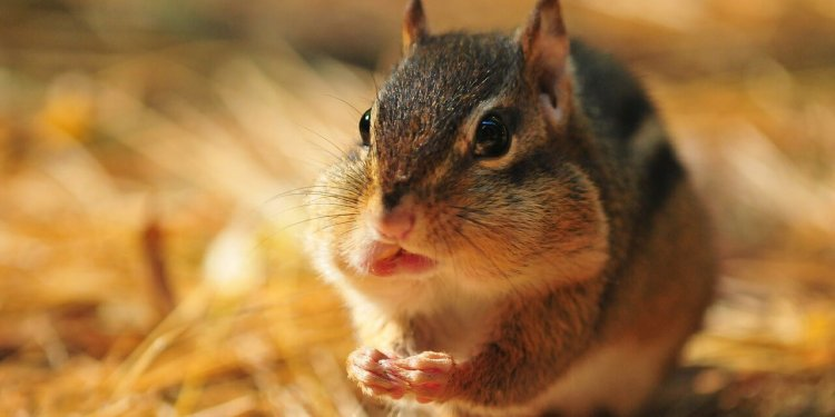 chipmunk cute animal rodent eat stuff