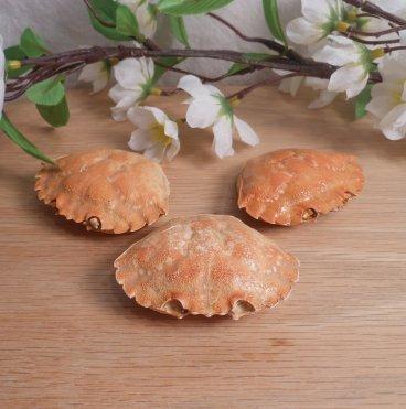 Medium Crab Shells | Elements for Spells and Rituals 1