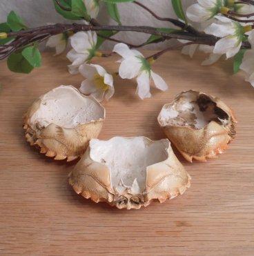 Medium Crab Shells | Elements for Spells and Rituals bottom