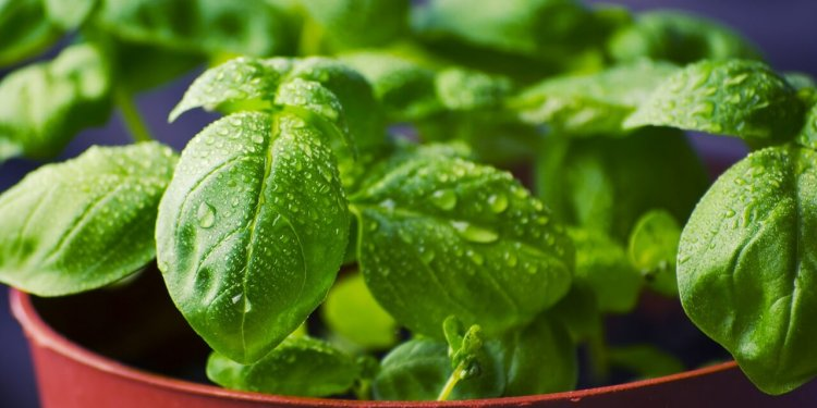 basil herb plant cooking magic