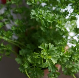 parsley herb plant cooking magic