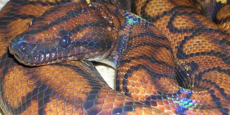 mythical creature rainbow serpent snake australia