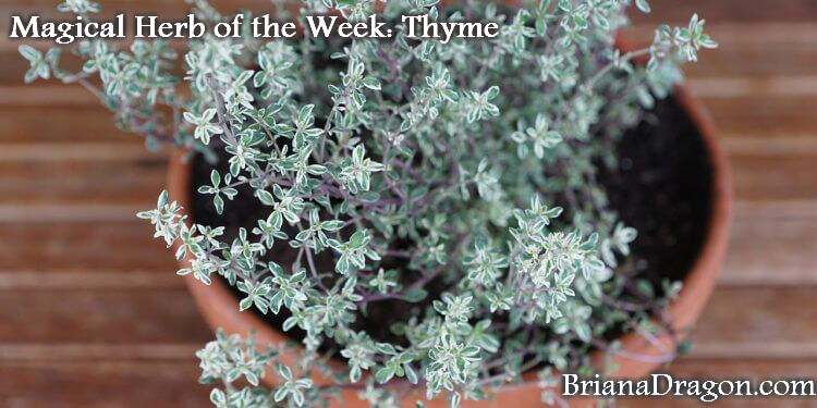 thyme herb plant cooking magic